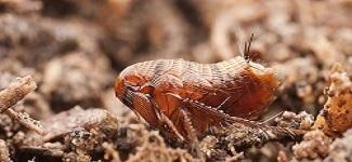 Flea Control Rosebery
