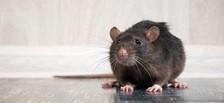 Rodent Control Rosebery