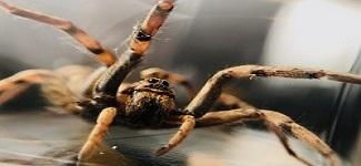 Spider Control Rosebery